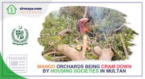 Mango Orchards Being Cram Down by Housing Societies in Multan
